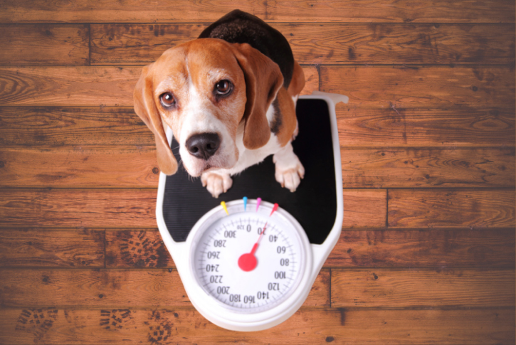 What a Healthy Dog Weight Looks Like